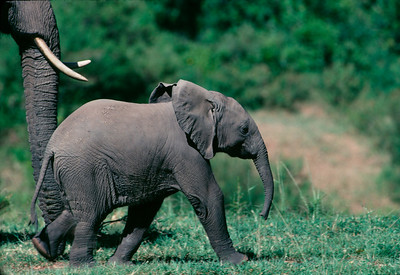 baby elephant with mother dusted