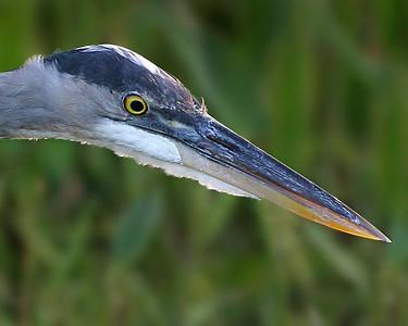IMG_5319 great blue heron head printed 10x8