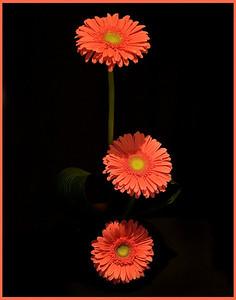 022605_0155PM-_MG_2617 three gerber daisies printed 11x14