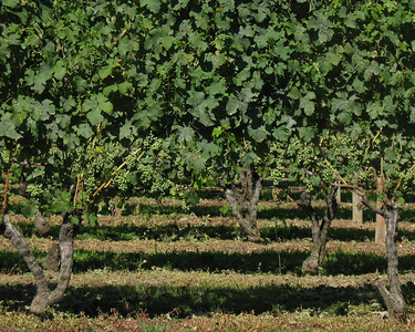 Private Vineyard on the North Fork, Long Island, NY