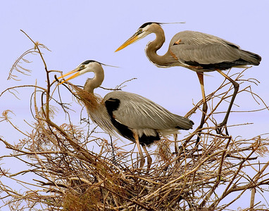 7828 great blue herons courting Wakodahachee 11x14