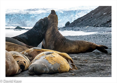 Hannah Point, Livingston Island : male southern elephant seals are the world's largest, weighing up to 4 tonnes and growing to 20 metres.   An interloper challenges an alpha male, whilst subordinate males lie flat on the beach, during the moulting season.