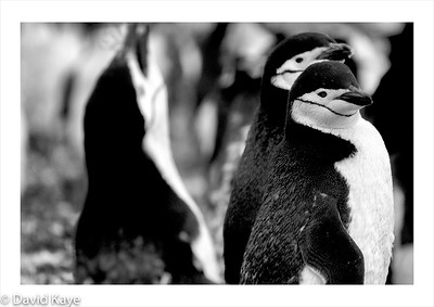 Hannah Point, Livingston Island : Chinstrap penguins, the most common of the seven types of Antarctic penguin, with a population of around five million breeding pairs.