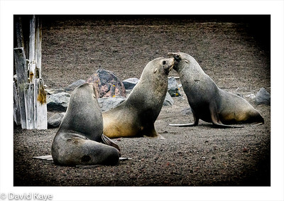 Whaler's Bay, Deception Island : fur seals are the smallest of the six Antarctic seals and their sparring was relatively playful to watch.  All's well that ends well?