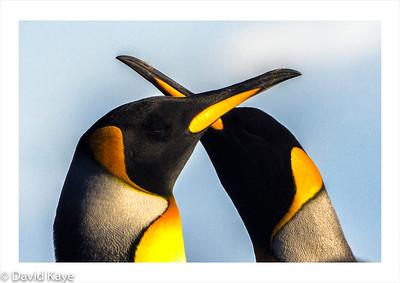 Saunders Island, Falkland Islands : King penguins.