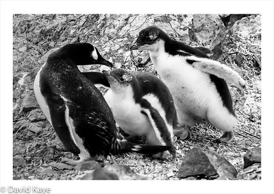Danco Island : Gentoo penguin family.  They are the most northerly of the Antarctic penguins.