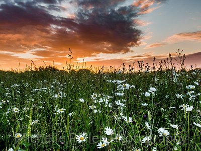 Daisies At Sunrise