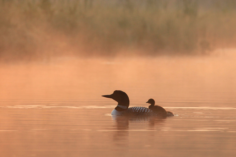 "LOON 0602<br /> <br /> ""Loon with baby in morning fog""<br /> <br /> Camera: Canon EOS 5D Mark II<br /> Lens: Canon EF 100-400mm<br /> Focal length: 390mm<br /> Shutter speed: 1/800<br /> Aperture: f10<br /> ISO: 1000"