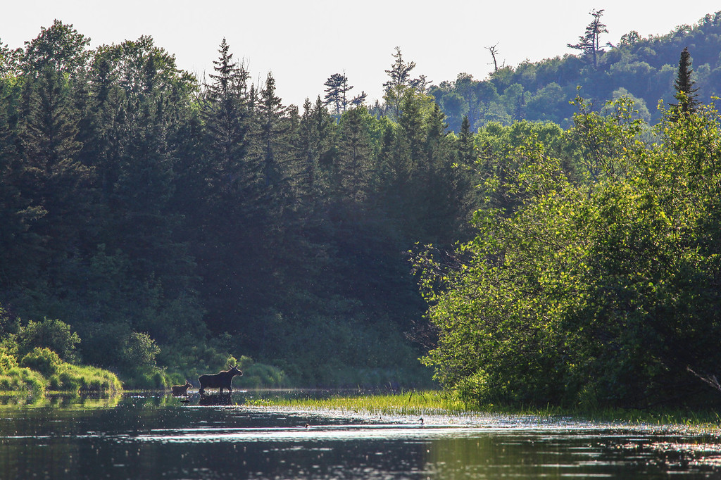 """SUNDAY, JUNE 6, 2010<br /> <br /> MOOSE 9898<br /> <br /> """"Moose mother and child crossing the Pigeon""""<br /> <br /> What a day! I had FIVE moose sightings! I saw four of them on the same bend of the Pigeon River while paddling my kayak. First a male and female pair, then another female with a calf showed up and scared the other two away. The fifth one was seen along Partridge Falls Road on the way home. I paddled 10 miles on the river and in addition to the moose I also saw quite a few beavers, an otter family of 6, and several ducks. The cow and calf shown in this photo crossed the river upstream from me three times, and I was able to get shots of them each time they crossed. The image shown here was my favorite.<br /> <br /> Camera: Canon EOS 5D Mark II<br /> Lens: Canon EF 100-400mm<br /> Focal length: 400mm<br /> Shutter speed: 1/160<br /> Aperture: f16<br /> ISO: 400"""