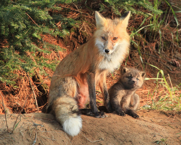 "FOX 7021<br /> <br /> ""Fox Mother and Child""<br /> <br /> Camera: Canon EOS 5D Mark II<br /> Lens: Canon EF 100-400mm<br /> Focal length: 400mm<br /> Shutter speed: 1/250<br /> Aperture: f9.0<br /> ISO: 2500"