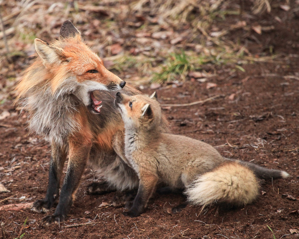 """FOX 2827<br /> <br /> """"Fox Family""""<br /> <br /> Camera: Canon EOS 5D Mark II<br /> Lens: Canon EF 100-400mm<br /> Focal length: 400mm<br /> Shutter speed: 1/160<br /> Aperture: f5.6<br /> ISO: 1600"""