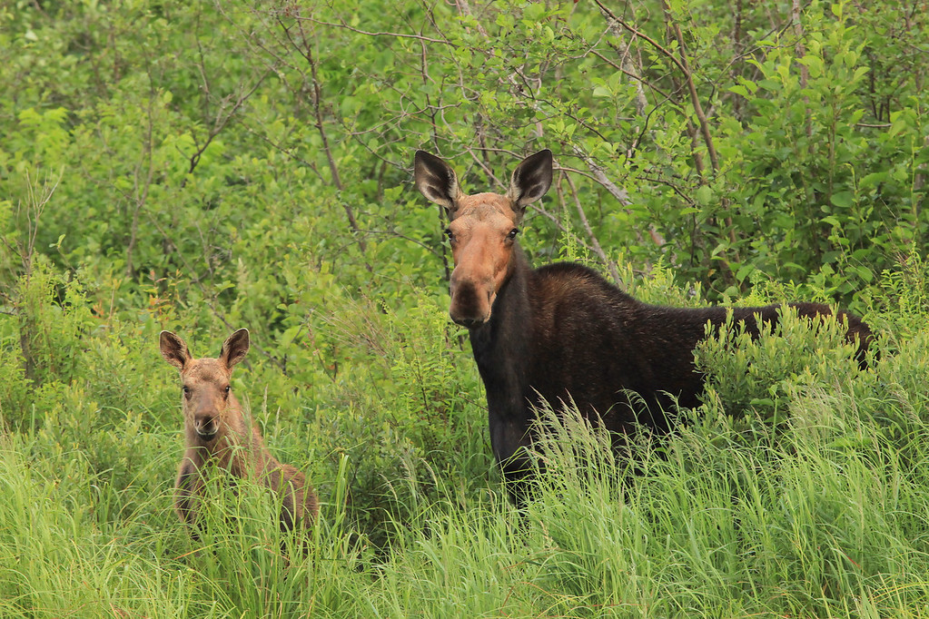 "WEDNESDAY, JULY 13, 2011<br /> <br /> MOOSE 9827<br /> <br /> ""Moose Cow and Calf""<br /> <br /> I spent almost 4 hours on the Pigeon River today, and it ended up being time well spent because part of the way through that time I ran into this moose cow and calf, which made for a great picture! After making this photo they ran off into the woods, so I continued down the river and about a mile later there they were again! I noticed them earlier the second time and tried sneaking up on them along the edge of the river. I was upwind, however, and before I could get close enough to get good shots they were gone into the woods. I'm grateful that I was able to get this nice shot of them, though! I love how they are both checking me out with their ears pointed towards me.<br /> <br /> Camera: Canon EOS 5D Mark II<br /> Lens: Canon EF 100-400mm<br /> Focal length: 310mm<br /> Shutter speed: 1/320<br /> Aperture: f10<br /> ISO: 1600"