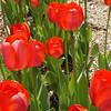 Red Tulips (closeup)