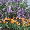 Daydream Tulips & Lilacs