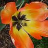 Daydream Tulip (closeup)