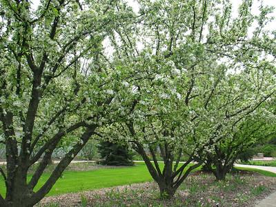 Lilac trees