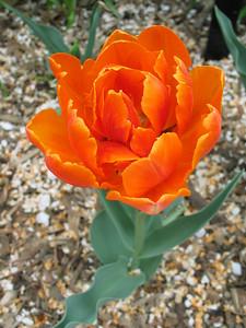 Tulip (closeup)