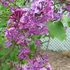 Lilacs (closeup)