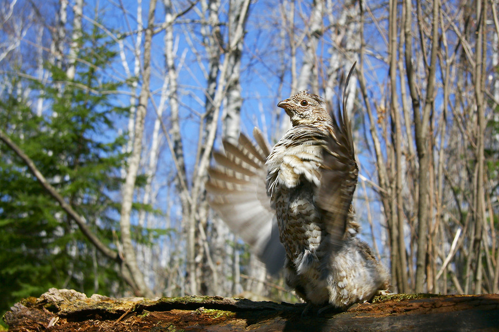 "RUFFED GROUSE 9981<br /> <br /> ""Nature's Drummer"""