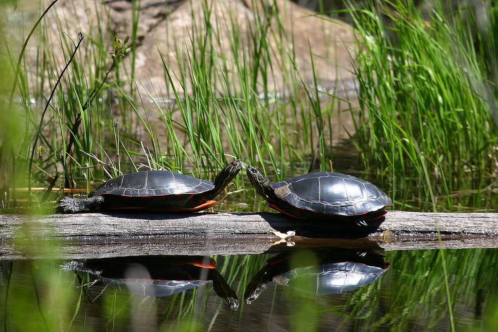 "ANIMALS BY LAND 9031<br /> <br /> ""Friends Forever""<br /> <br /> Painted Turtles on North Lake, Grand Portage Reservation"