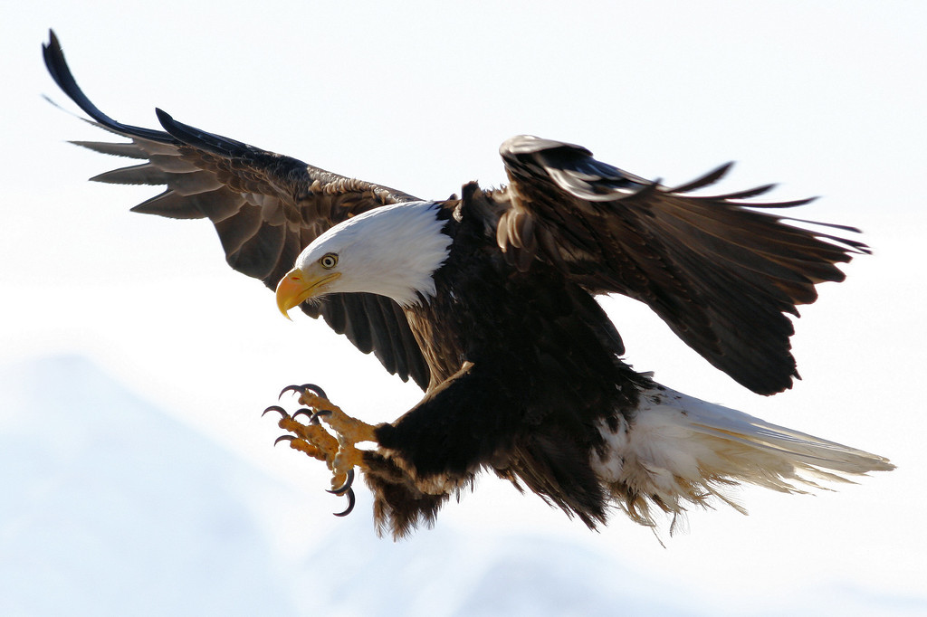 "ALASKA EAGLES 9402<br /> <br /> ""Comin' in hot....."""