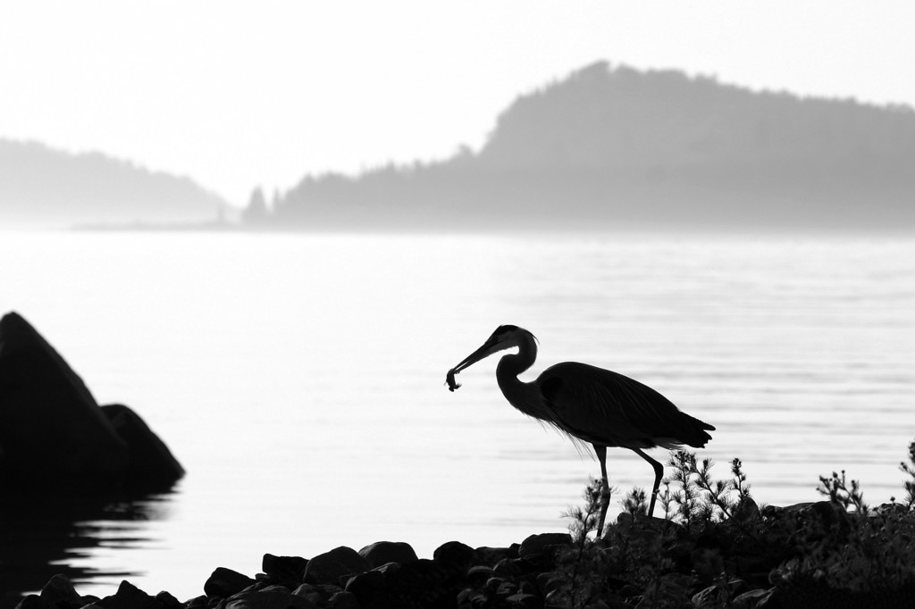 """ANIMALS BY AIR 1716<br /> <br /> """"Heron Hunter""""<br /> <br /> Grand Portage, MN"""