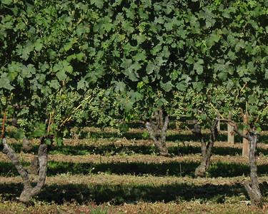 Ripening vines