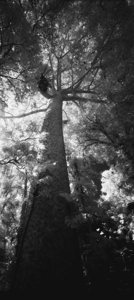 32  Pure tree