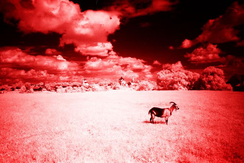 Красная коза // Red Goat