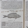 "Illustration of a boops boops commonly called a bogue. <br><br> <b>Author:</b> Guillaume Rondelet<br> <b>Title:</b><i> Libri de piscibus marinis </i> [Book of marine fish] (Lyon, 1554) <br> <b>Shelfmark:</b> F.9.27  <a href=""http://idiscover.lib.cam.ac.uk/permalink/f/1nnjft8/44CAM_ALMA21416669940003606""> (catalogue record)</a>"