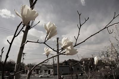 05_Magnolias Behai
