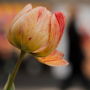 A new tulip in town