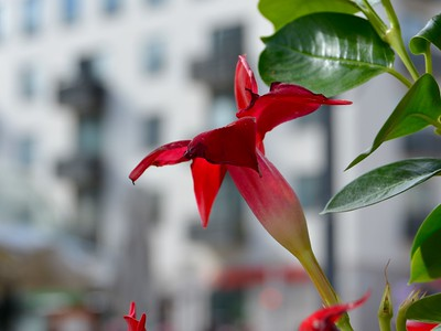 theredflower