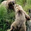 Alaska, Brown (Grizzley) Bear, Kodiak Island, Kodiak National Wildlife Refuge- Fraser Lake