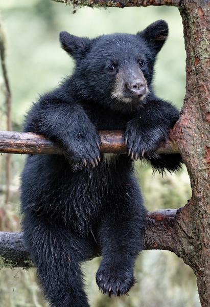 Alaska, Anan Wildlife Observatory, Black Bear, Tongass National Forest, Wrangell