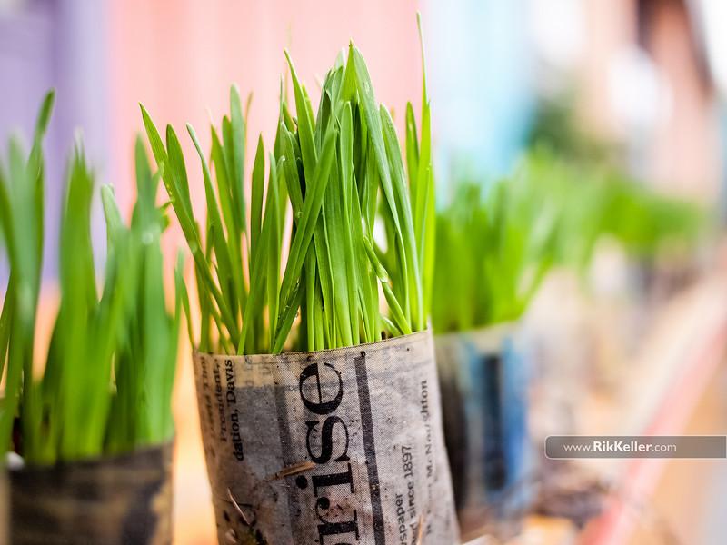 Kindergarten garden day - wheatgrass sprouts
