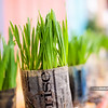 Kindergarten garden day - wheatgrass sprouts