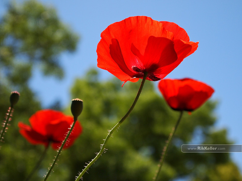 Poppies, Davis CA