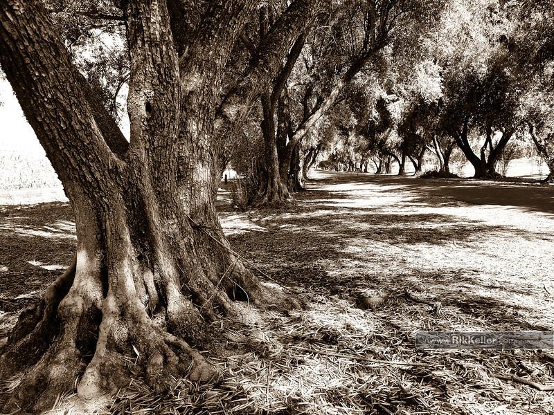 Olive Tree Lane, Davis CA - September 2009
