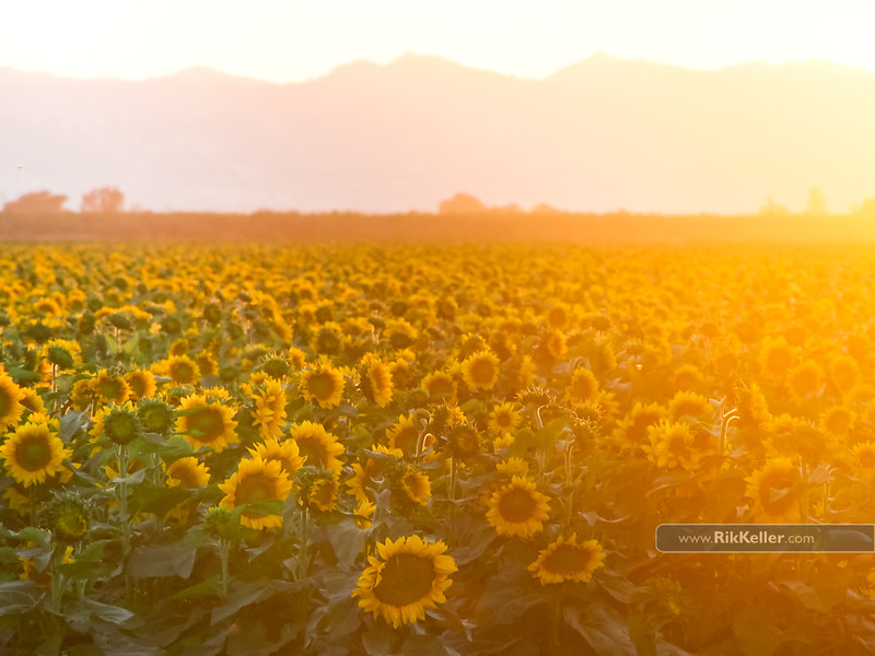 sunflowers, Solano County