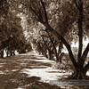 Olive Tree Lane, Davis CA - September 2009