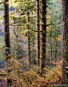 "©Al Gallia; ""Fairy Woods""; Trail down to base of South Falls at Silver Falls State Park, Oregon, about 20 miles east of Salem."