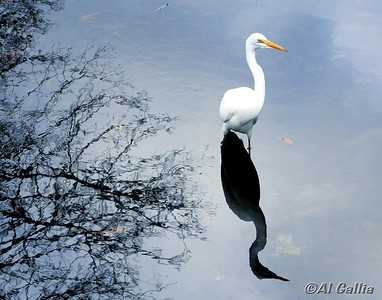 """©Al Gallia; """"Waiting Patiently""""; Great Egret at Girard Park lake on University of Louisiana campus, Lafayette, Louisiana. Note: Framed/matted print sold at Heymann Center gallery!"""