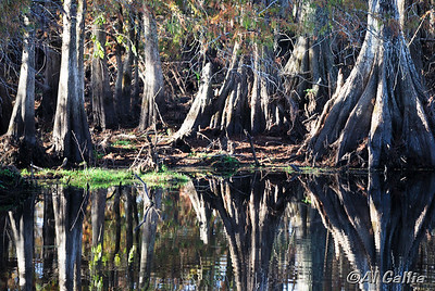 "©Al Gallia; ""Still Waters & Old Friends""; Cypress trees and still waters on a November afternoon at the Lake Martin/Cypress Island Preserve near Lafayette, Louisiana."