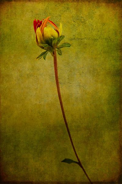 Renaissance Flower