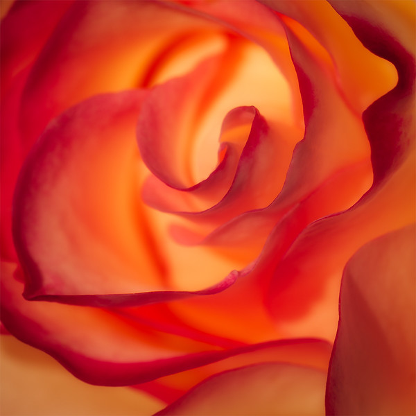 Majestic Rose