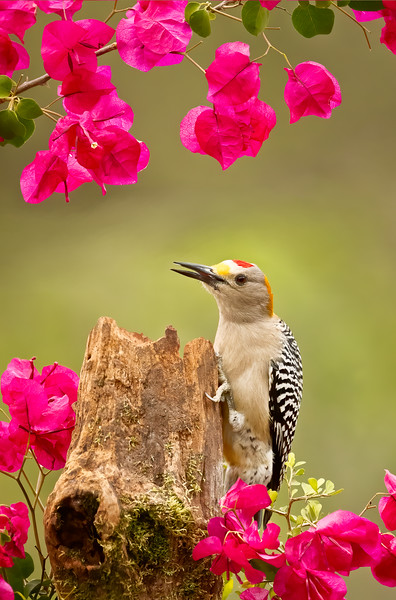 Gold-fronted Woodpecker #1
