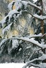 mary_whitesides--Framed Pine on Pine Sharp