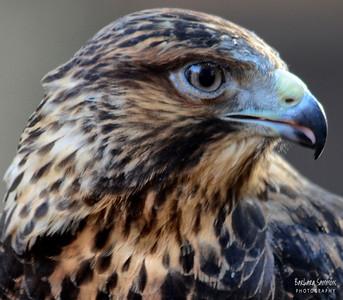 """Travis"" - Swainsons' Hawk The Carolina Raptor Center ~ Huntersville, NC"