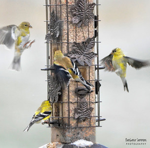 American Goldfinch ~Snowy morning